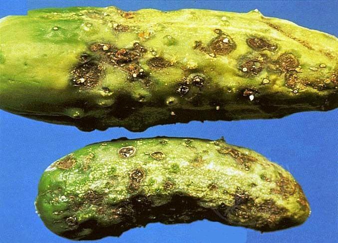 Болезнь огурцов желтеют листья чем лечить