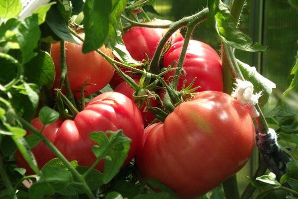 томаты спеют на ветке