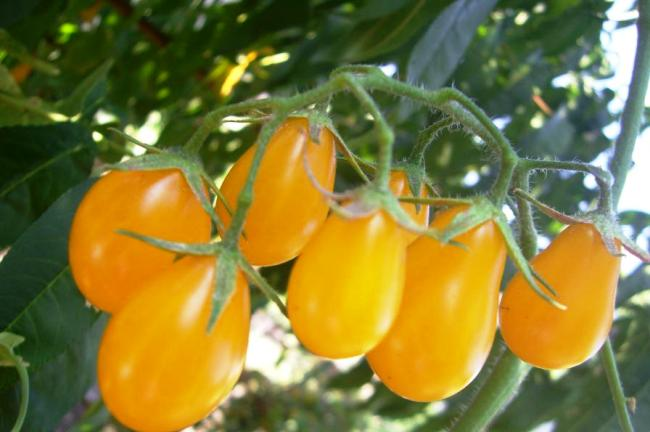 томат Медовая капля