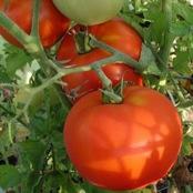 крупные созревшие томаты на ветке