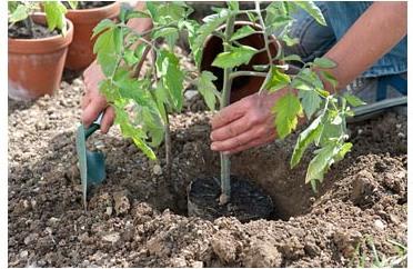 высаживание рассады томатов