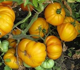 томат Золотой бык