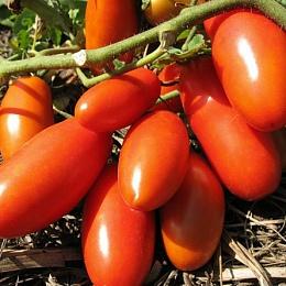 томат Сибирская тройка