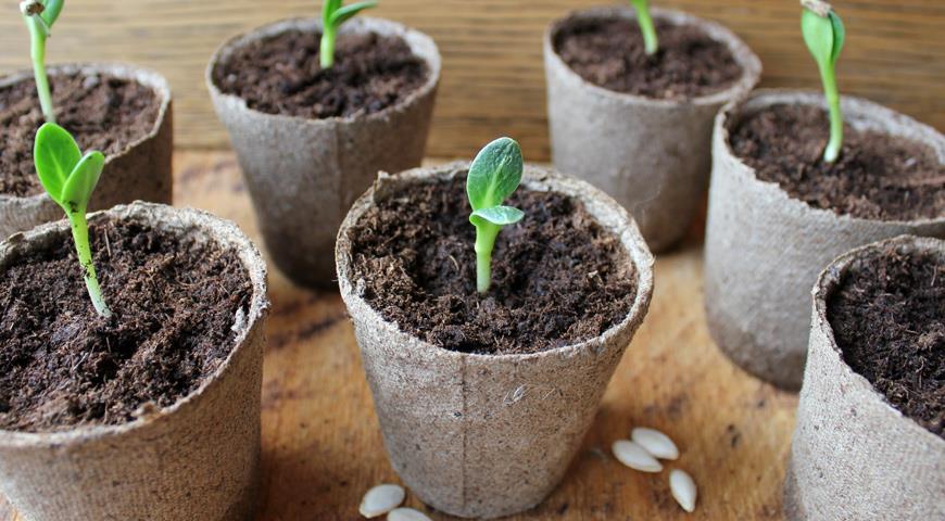 ростки огурцов в торфяных горшках