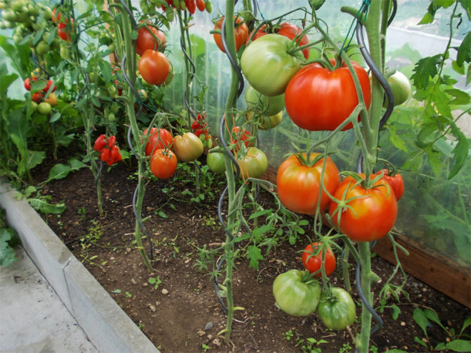 томаты поспевают в теплице