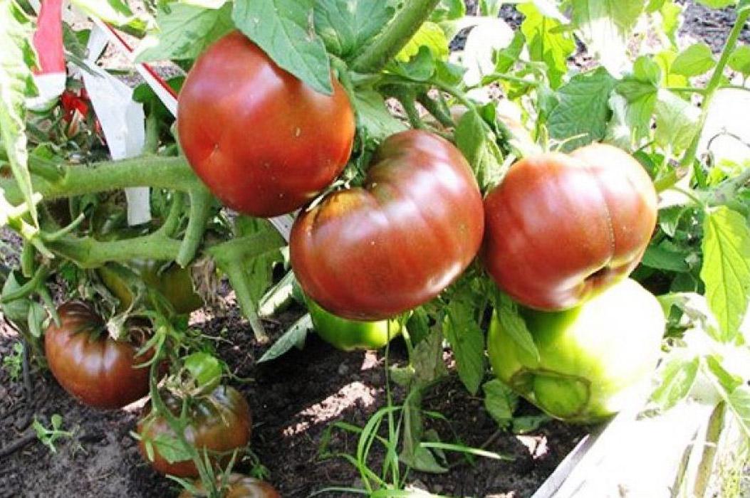 поспевающие помидоры