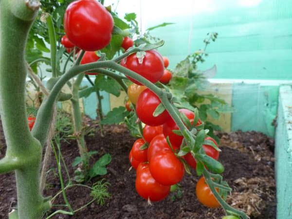 маленькие красные помидоры на ветке