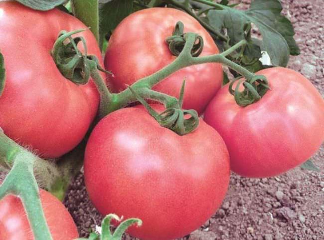 томаты малинового цвета на ветке