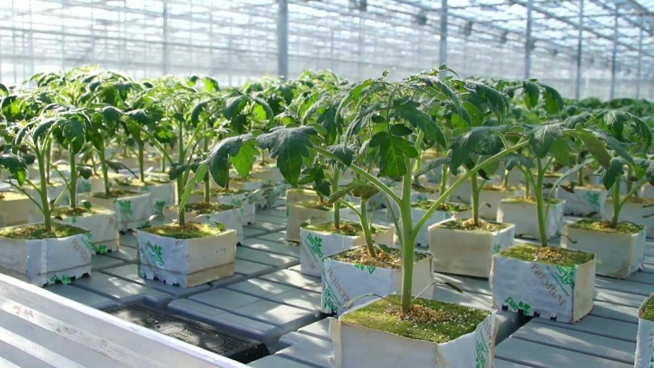 Гидропоника рассады томатов 2