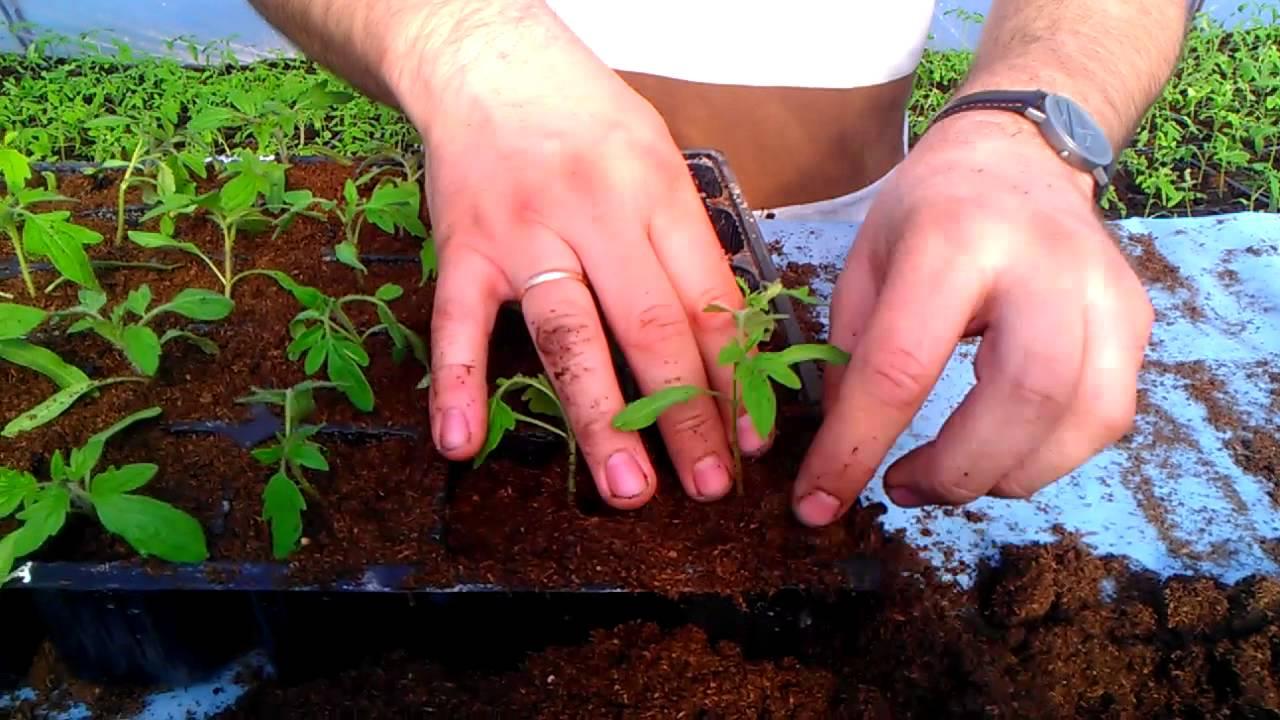 домашняя пикировка саженцев томатов