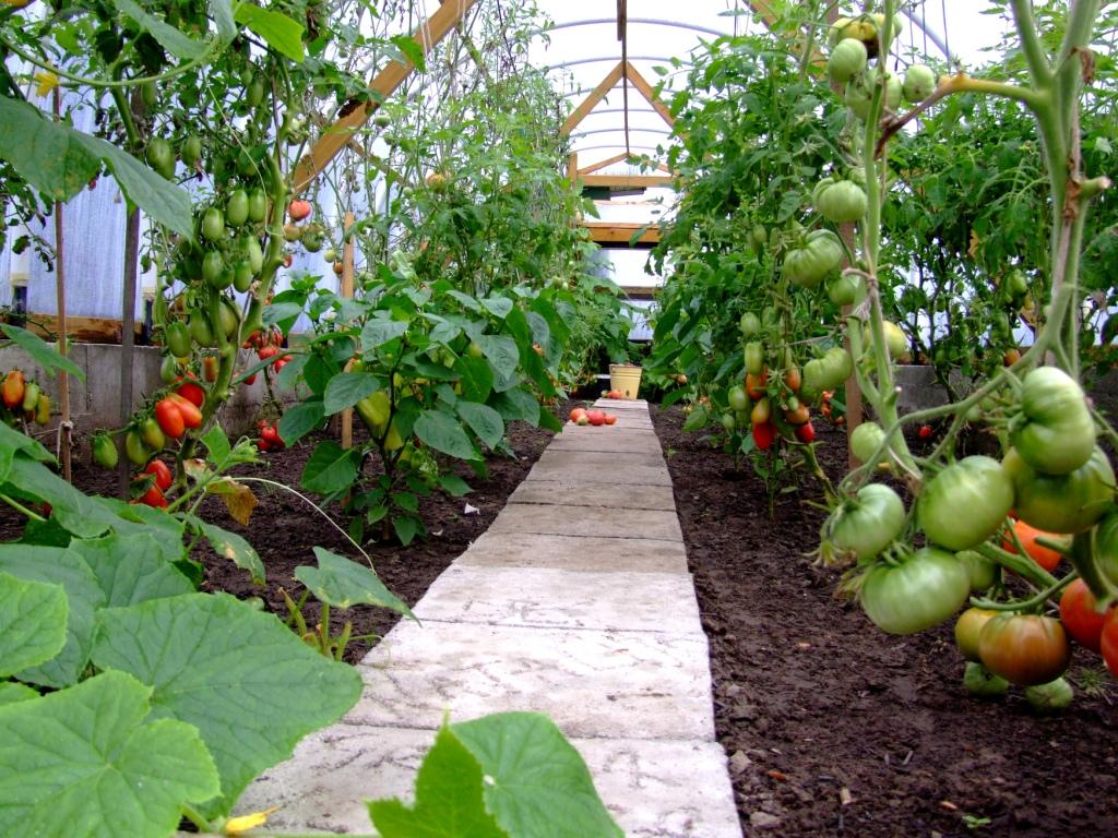 Можно в одну теплицу сажать помидоры и огурцы 80