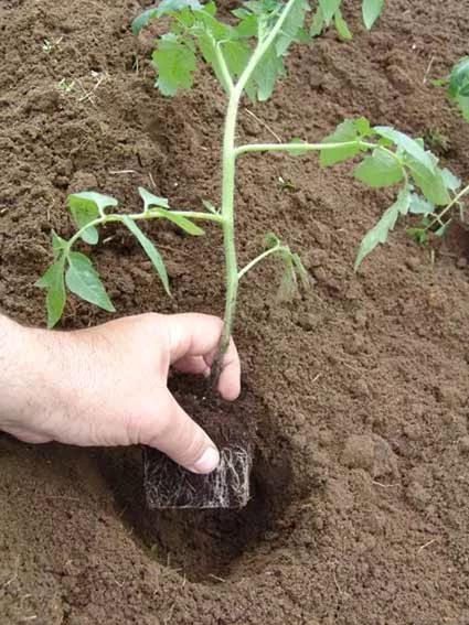 пересадка сеянцев томатов в грунт