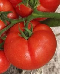 красный большой помидор