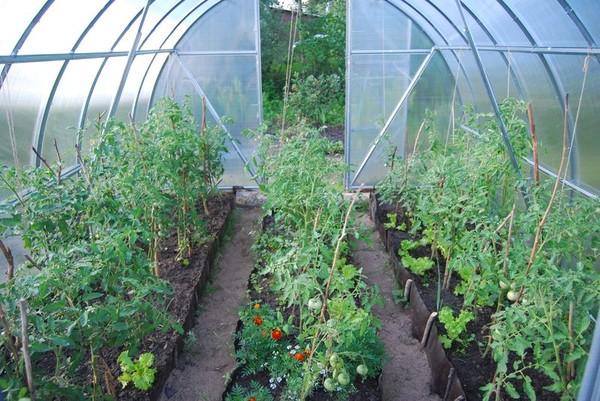 помидорные саженцы в теплице