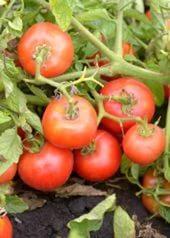 томат Слот