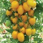 томат Медовая конфетка