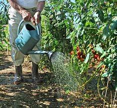 полив томатов из лейки