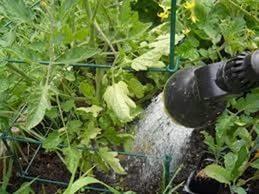 орошение из шланга томатов