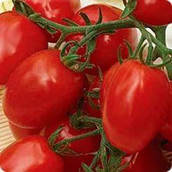 томат 6 Пунто 7
