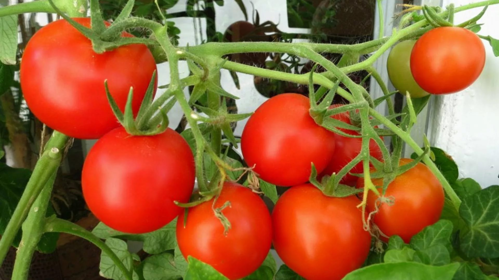 красные помидоры дома