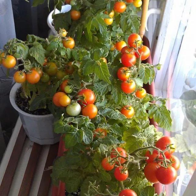 Как сажать помидоры на окне 47