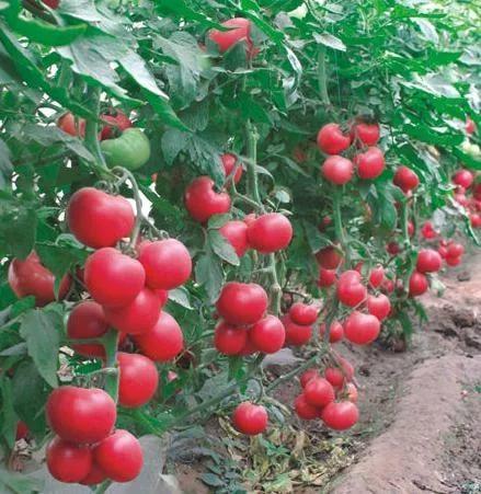 томаты с неограниченным ростом