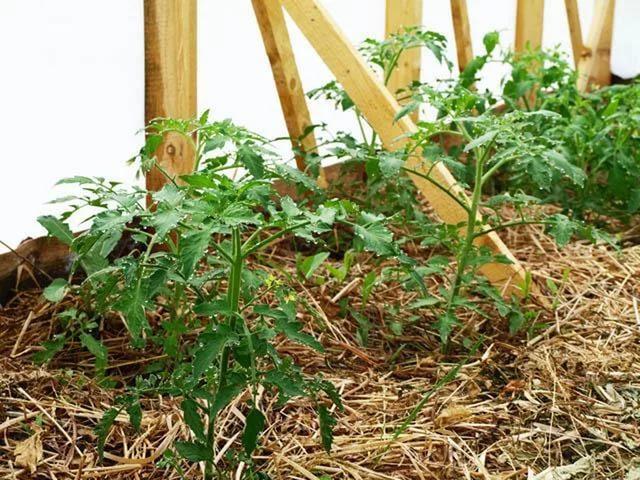 мульчирование помидоров в теплице