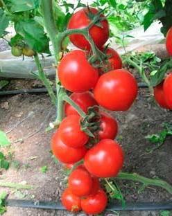 гроздь томатов на ветке