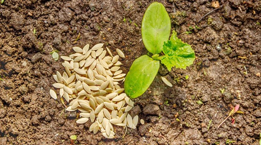 огуречные семена и рассада
