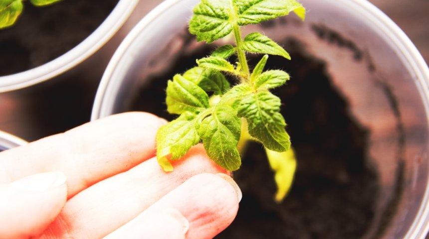 Почему желтеют листья у помидор в рассаде