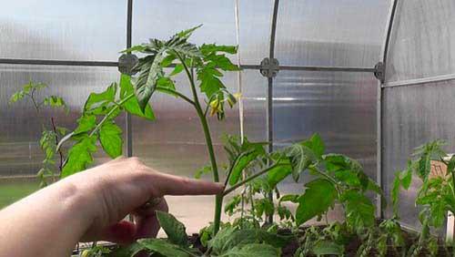 саженцы томатов в теплице