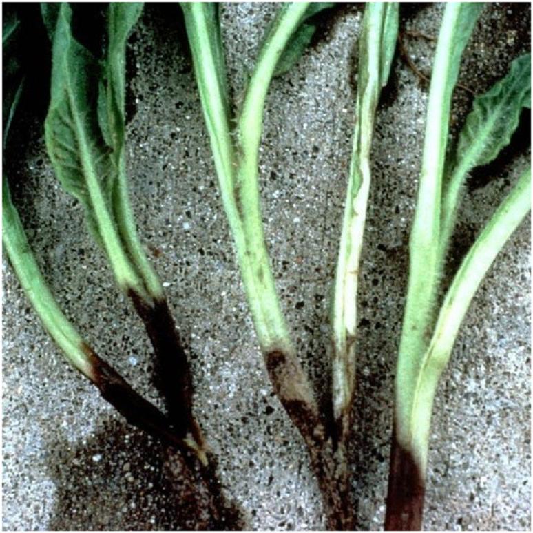 корневая гниль у рассады огурцов