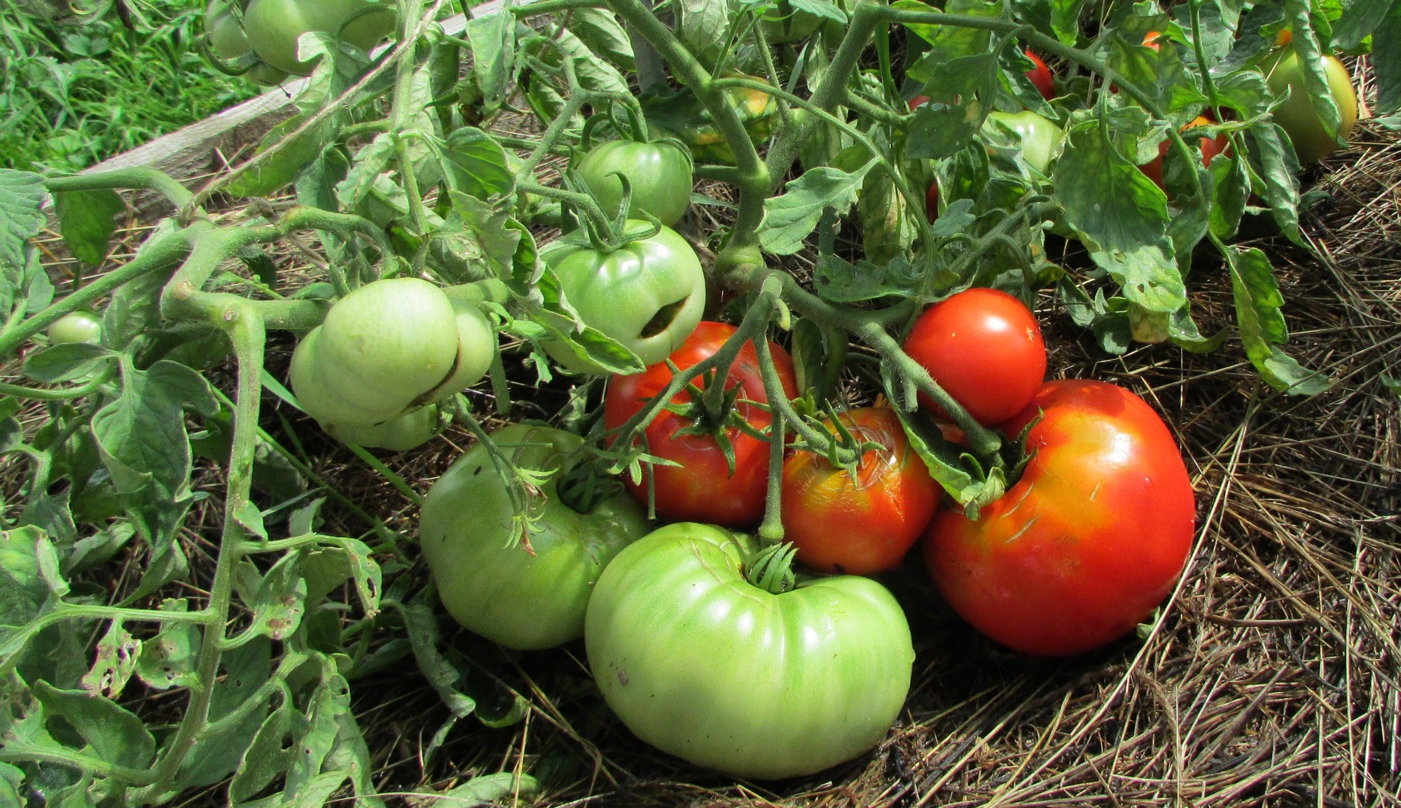 плоды томата Монгольский карлик