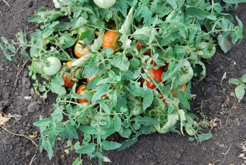 куст томатов Монгольский карлик