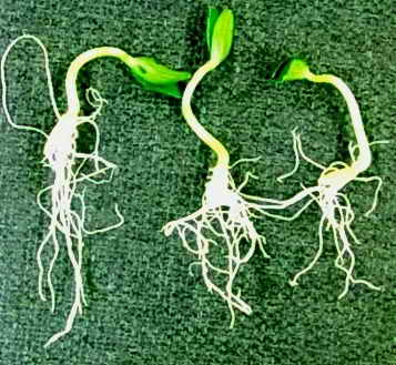 три проростка огурцов