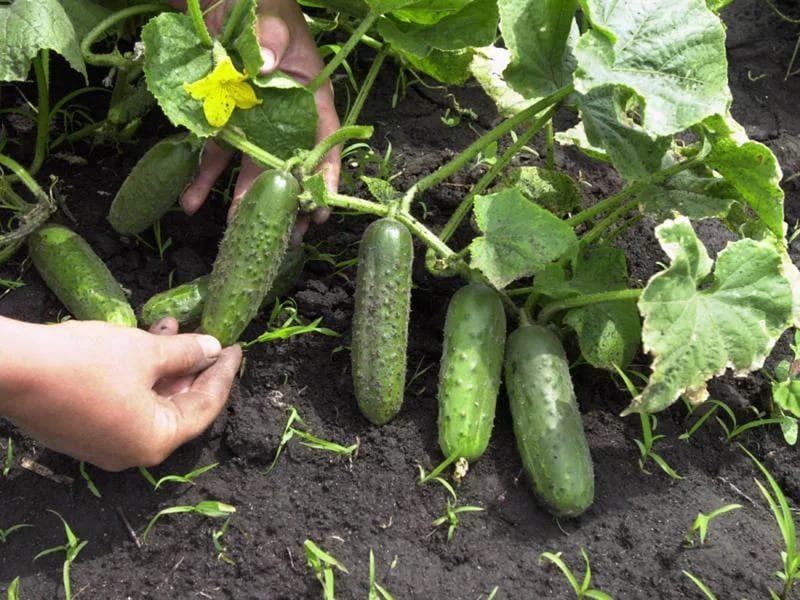 урожай огурцов на грядке