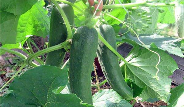зеленые плоды на огуречной плети