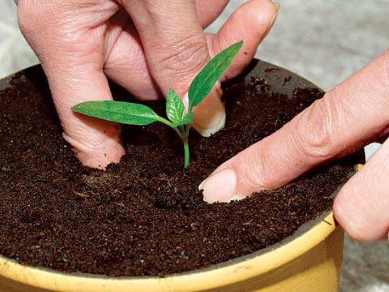 росток томата в горшке с землей