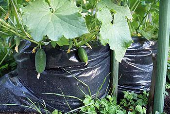 выращивание огурцов в пакете