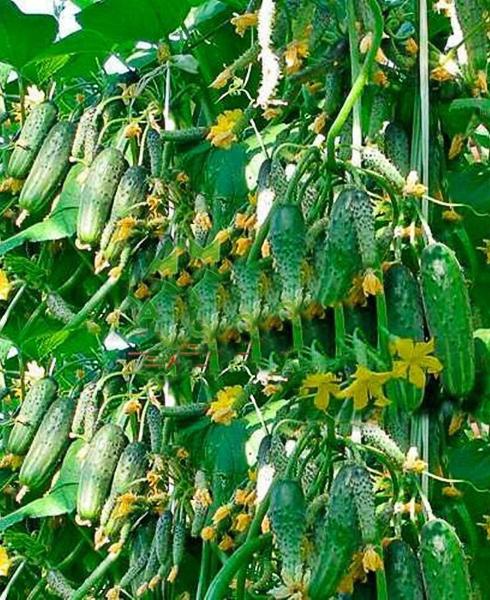 много зеленых огурцов