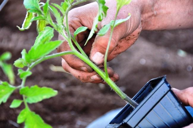 Чем подкормить рассаду помидор: удобрения и сроки 26