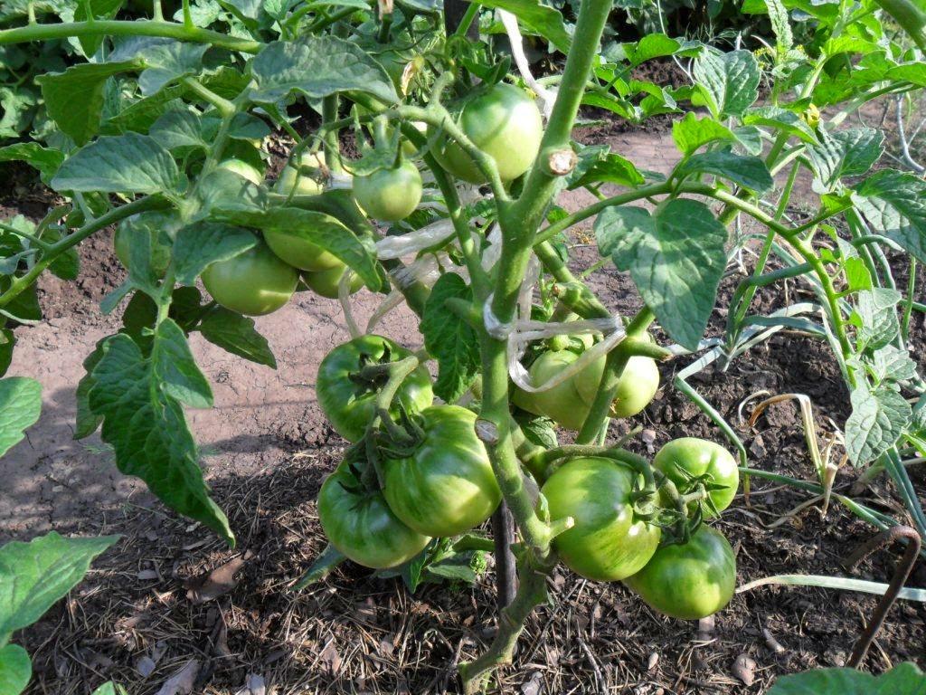 помидоры на открытом грунте