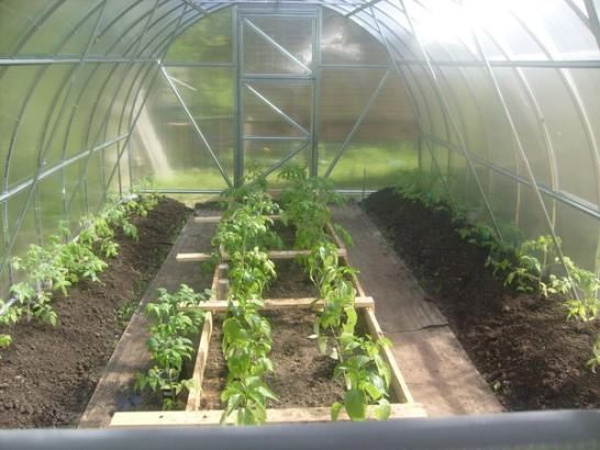 посаженные саженцы томатов