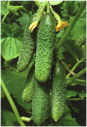 урожай огурцов