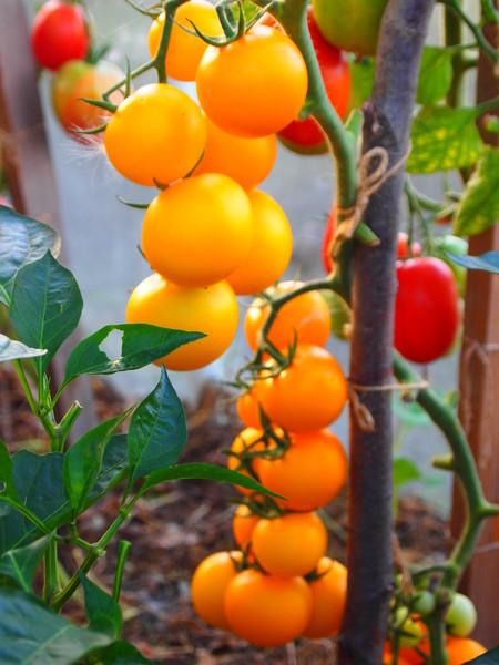маленькие золотистые томаты