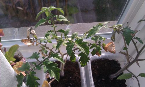 высыхают саженцы помидор
