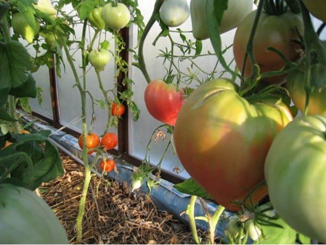 индетерминантные помидоры