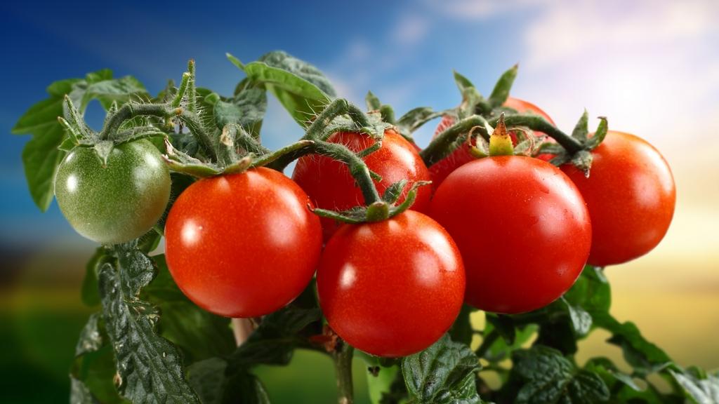 ветка с маленькими томатами
