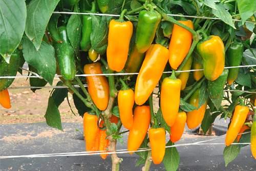 Перец особенности ухода, посадки и выращивания