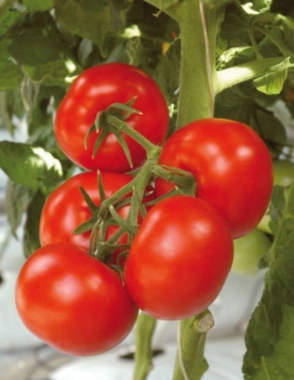 Технология выращивания помидоров в открытом грунте на Урале 74